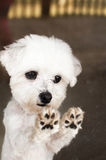Maltese dog paws. Maltese dog stands on hind legs with paws on glass door looking out Royalty Free Stock Photo