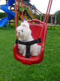 Maltese dog in a playground. White Maltese female dog pup being happy in a playground Royalty Free Stock Image