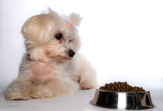 Maltese dog with Royalty Free Stock Photos