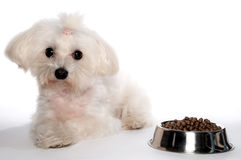 Maltese dog with Stock Image