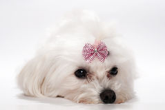 Maltese dog with Stock Images