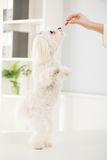 Maltese dog. Portrait Maltese dog standing on two legs with delight Stock Images