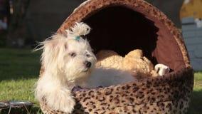 Maltese dog posing stock footage