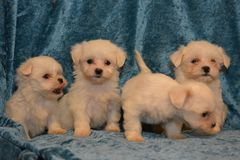 Maltese dog puppies. The Maltese is a small breed of dog in the Toy Group. It descends from dogs originating in the Central Mediterranean Area. The breed name Stock Image