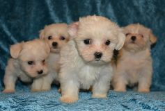 Maltese dog puppies. The Maltese is a small breed of dog in the Toy Group. It descends from dogs originating in the Central Mediterranean Area. The breed name Stock Photo