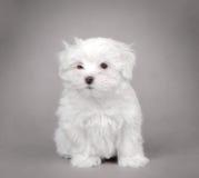 Maltese dog puppy. Little Maltese dog puppy portrait Stock Image