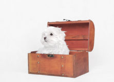 Maltese dog puppy Royalty Free Stock Photography