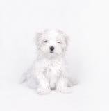 Maltese dog puppy. Little Maltese dog puppy portrait Stock Photo