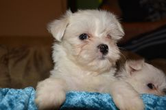 Maltese dog puppy Royalty Free Stock Photo