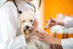 Maltese dog receive injection in vet clinic. Sick sad Maltese dog receive injection in vet clinic Royalty Free Stock Photo