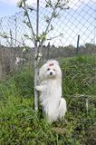 Maltese dog with a red bow poses near a young tree. Maltese dog with a red bow poses near a young tree Stock Image