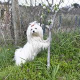 Maltese dog with a red bow poses near a young tree. Maltese dog with a red bow poses near a young tree Royalty Free Stock Photos