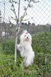 Maltese dog with a red bow poses near a young tree. Maltese dog with a red bow poses near a young tree Stock Images