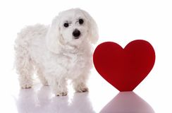 Maltese dog with red Valentine heart standing and looking in camera. On white background Stock Photos