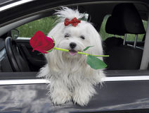 Maltese dog with a rose in teeth in the  car looking out the window. Maltese dog with a rose  in teeth in the  car looking out the window Stock Images