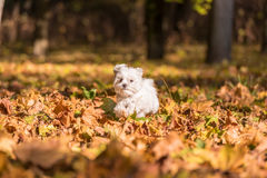 Maltese Dog is Running on the Autumn Leaves Ground. Royalty Free Stock Photography