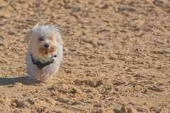 Maltese dog running on the beach. White Maltese dog running on the beach with stick in his mouth stock images