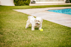 Maltese dog running on the grass. Maltese dog running happy in the sun Royalty Free Stock Photos