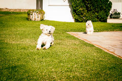 Maltese dog running on the grass Stock Images