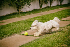 Maltese dog running on the grass Stock Photos