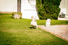 Maltese dog running on the grass. Maltese dog running happy in the sun Royalty Free Stock Image
