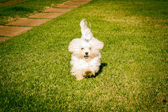 Maltese dog running on the grass Royalty Free Stock Photography