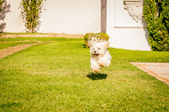 Maltese dog running on the grass. Maltese dog running happy in the sun Royalty Free Stock Photo