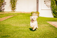 Maltese dog running on the grass Royalty Free Stock Photo