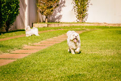Maltese dog running on the grass. Maltese dog running happy in the sun Stock Photos