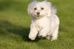 A Maltese dog running in grass. Nothing is cuter than a small white dog running in the grass with a happy expression - cute Royalty Free Stock Images