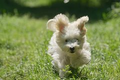 Maltese dog running and jumping Stock Photo
