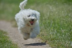 Maltese dog running and jumping. On path Royalty Free Stock Photo