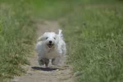 Maltese dog running and jumping. On path Royalty Free Stock Photos