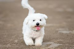 Maltese dog running outdoors. White Maltese dog running outdoors Royalty Free Stock Image