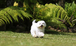 Maltese Dog Running. A white maltese dog running on green grass and plants background Stock Image