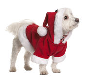 Maltese dog in Santa Claus suit standing. Maltese dog in Santa Claus suit, 3 years old, standing in front of white background Stock Photo