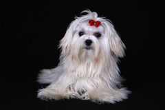 Maltese Dog sat on black background. A cute white Maltese dog with red ribbon looking at the camera against a black background Royalty Free Stock Photography