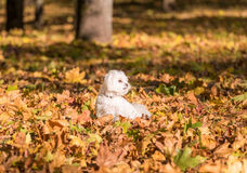 Maltese dog is sitting on the autumn leaves. Royalty Free Stock Photography