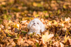 Maltese dog is sitting on the autumn leaves. Stock Image