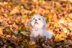 Maltese dog is sitting on the autumn leaves. Open Mouth. Stock Image