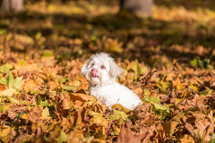 Maltese dog is sitting on the autumn leaves.  Tongue out Stock Images