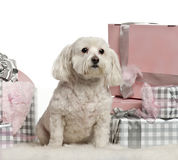 Maltese dog sitting with Christmas gifts. In front of white background Stock Photography