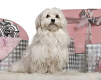 Maltese dog sitting with Christmas gifts. In front of white background Stock Images