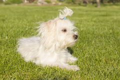 Maltese dog. Small young white  maltese dog posing outside Royalty Free Stock Photo