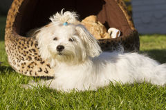 Maltese dog. Small young white  maltese dog posing outside Royalty Free Stock Image