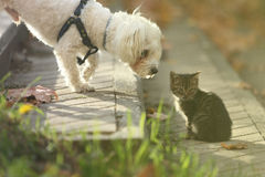 Maltese dog sniffing small cat kitten in head. White Maltese dog sniffing small cat kitten in head on sun day Royalty Free Stock Photo
