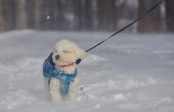 Maltese dog in snowstorm stock images