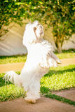 Maltese dog stand up waiting for food in the sun. Maltese dog stand up waiting for food Royalty Free Stock Image