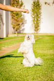 Maltese dog stand up waiting for food in the sun. Maltese dog stand up waiting for food Royalty Free Stock Photos
