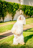 Maltese dog stand up waiting for food in the sun. Maltese dog stand up waiting for food Stock Images